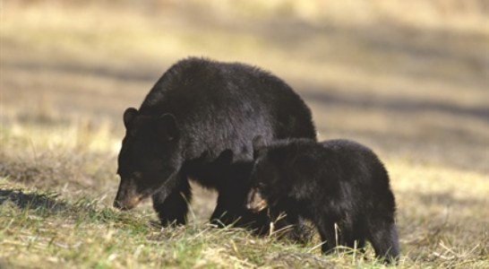 Wildlife Commission Schedules Meetings to Discuss Black Bear Management