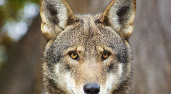 Howling for Attention: NC Red Wolf Population Struggles for Survival
