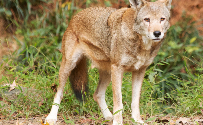 Scaled-Back Red Wolf Program Leaves Animal Advocates Howling