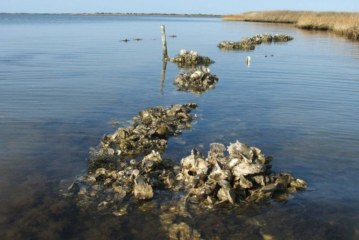 Oysters Could Help Protect NC from Hurricane Season