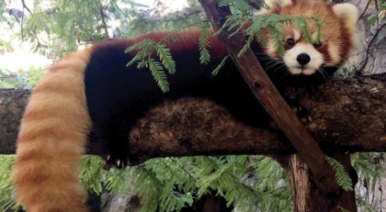 Red pandas arrive in Asheville